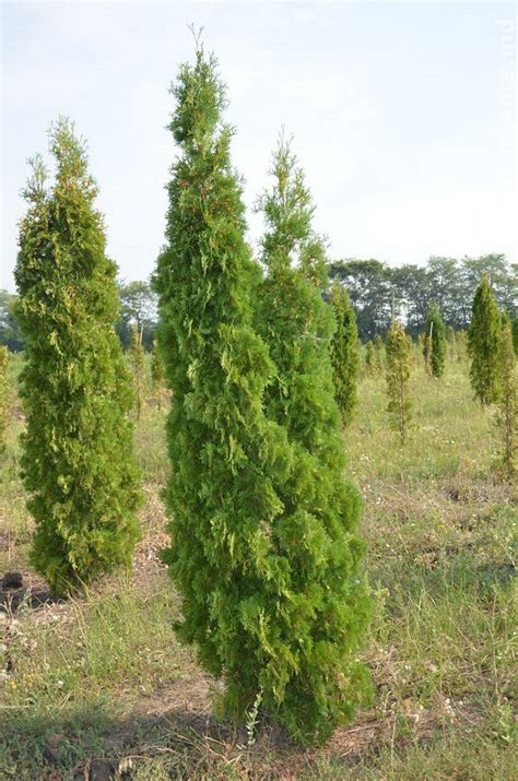 Thuja occidentalis Columna | PLANTE