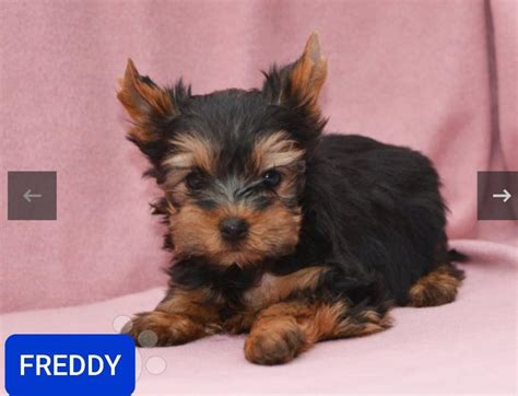 Divide And Conquer Yorkshire Terrier Kennel - Home | Facebook